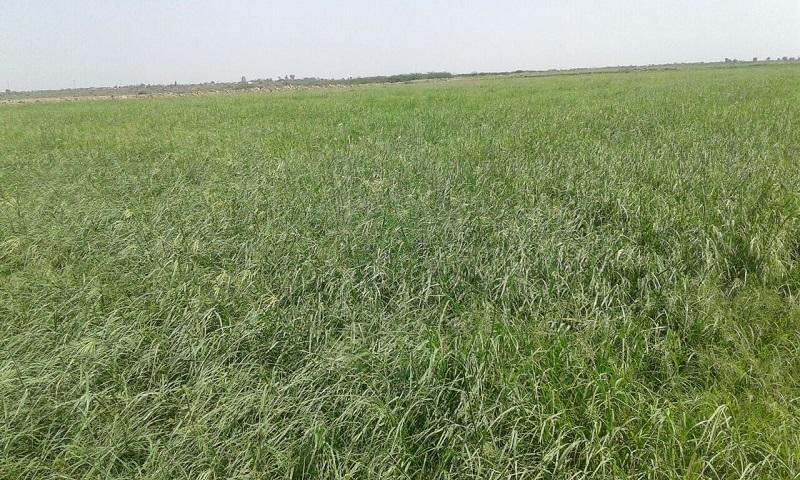Buy Rhodes grass