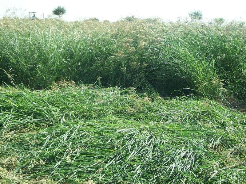 Rhodes_Grass_Hay