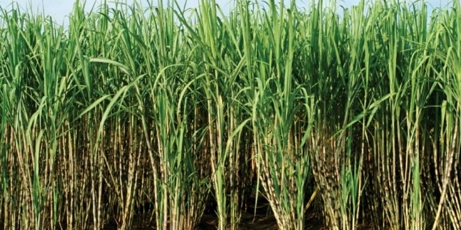 Sugarcane-660x330